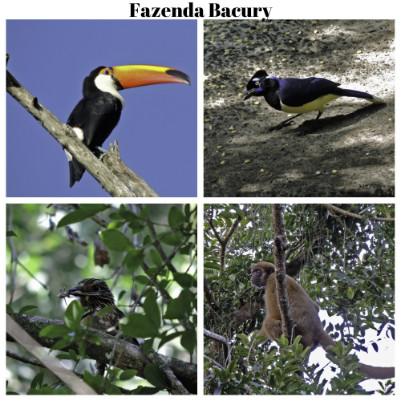 birdwatching-fazenda-bacury-pq